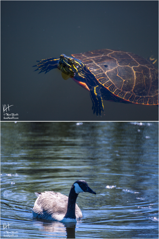 snapping turtle and Canadian goose | Spring 2019 | Coon Rapids Minnesota