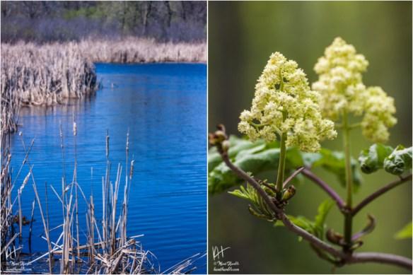 spring pond and elderberry buds | Spring 2019 | Coon Rapids Minnesota