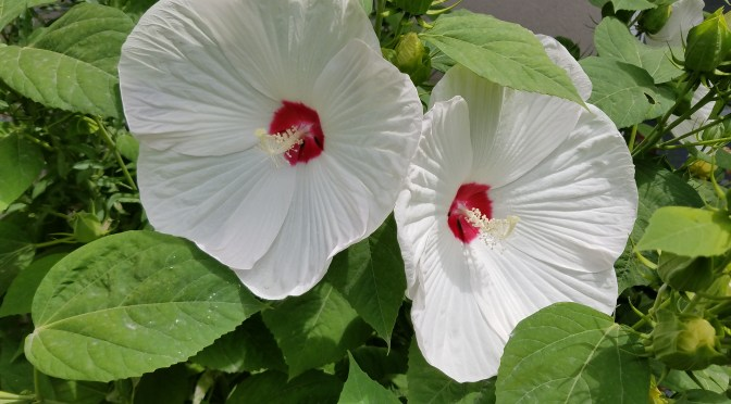 Disco Belle Hibiscus, tropical look for colder climates.