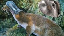 Obdurodon tharalkooschild