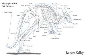 Kangaroo Pouch Anatomy