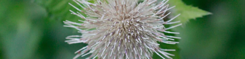 Eine Kohlkratzdistel in Blüte