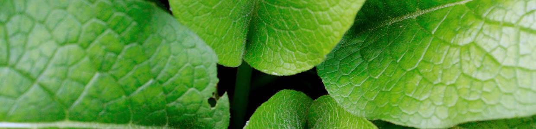 ein Blick ins Zentrum von mehreren grünen Beinwell-Blättern