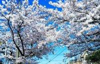 「コロナ」の春 桜のアーチをくぐると?