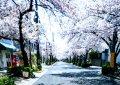 桜のアーチ‼️  芦屋市茶屋之町