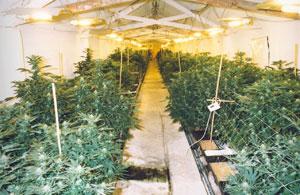 police_nyp_cannabis_farm