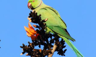 Rose ringed parakeet