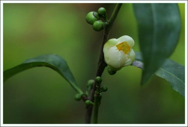 Camellia sinensis Tee Blüten Knospen Teepflanze