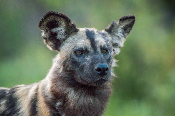 Kansas City Zoo - African wild dog looking forward