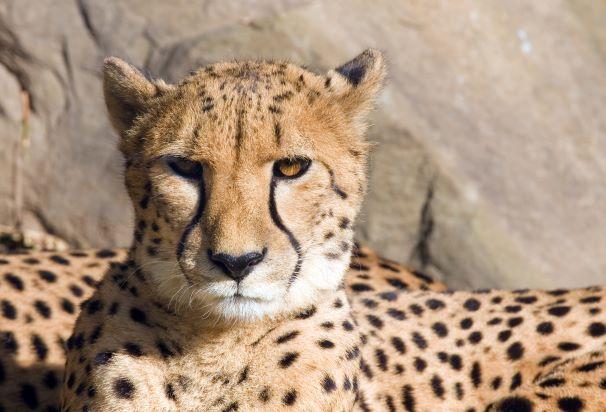 Kansas City Zoo Cheetah Enrichment - adult cheetah resting on rocks