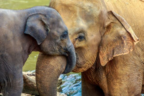 Kansas City Zoo - mother elephant snuggling trunks with baby elephant