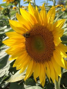 Gieringer's Sunflower Fest - sunflower with bee crawling on it