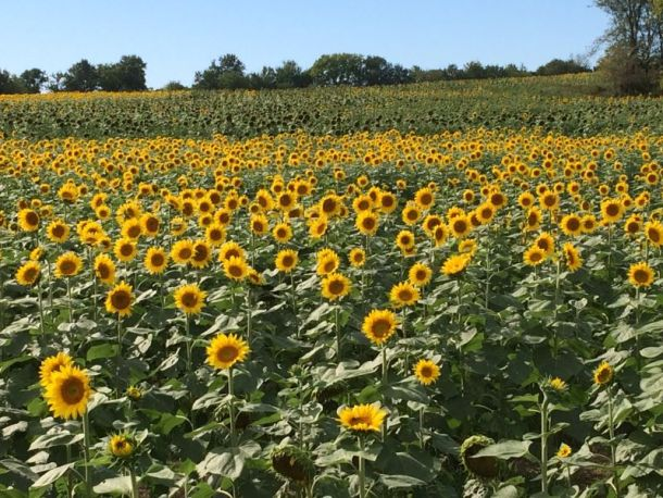 Kansas City sunflower fields - field of sunflowers in bloom