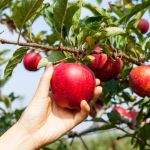 Kansas City U-Pick berries, orchards and farms