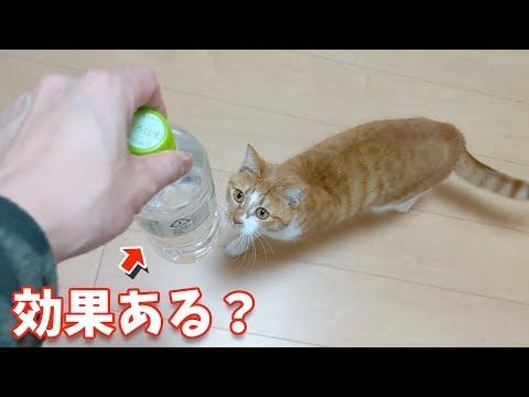 猫よけのペットボトルは効果がある!?【すずとコテツ】