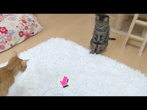 天然水を警戒する猫【すずとコテツ】