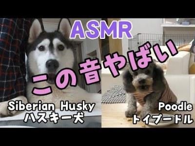 脳を刺激するヤバい音 ASMR Dog Husky and Poodle