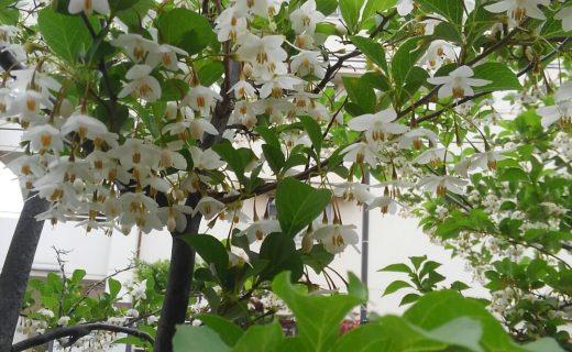 玄関目前のエゴノキが花盛りです。蜂がせっせと密を集めにきています。