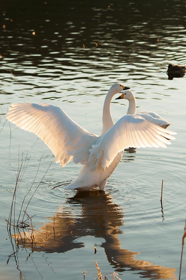 Cisnes-en-handanuma_004