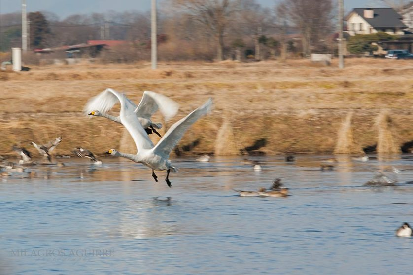 Cisnes-en-handanuma_008