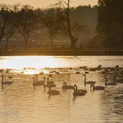 Handanuma, el pantano de los cisnes