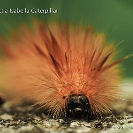 pyrrharctia-isabella-caterpillar