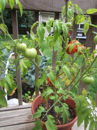 Patio tomatos