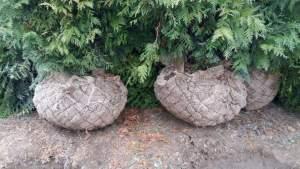 Grupa Kapias - Thuja z gruntu bryła