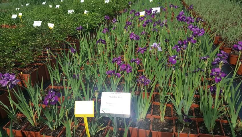 Grupa Kapias Iris sibirica