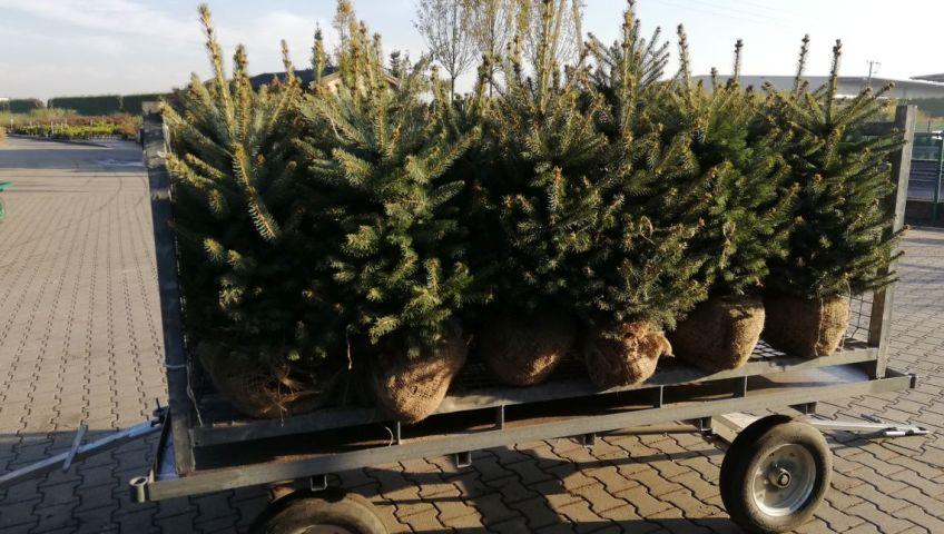 Grupa Kapias Picea pungens, balot