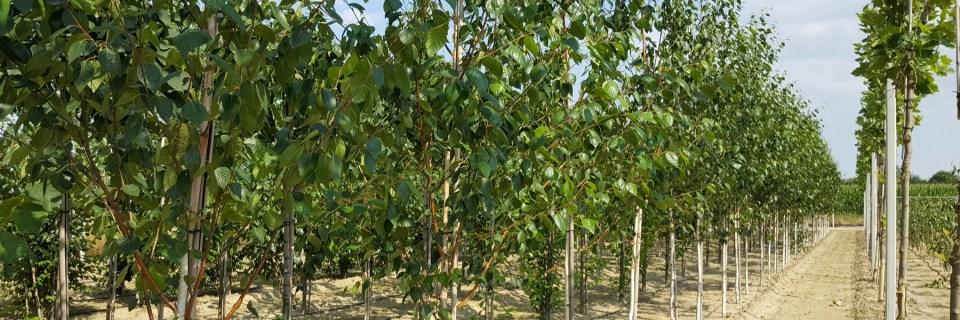 produkcja drzew liściastych w gruncie