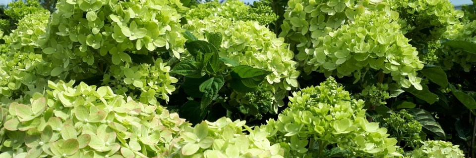 Grupa Kapias- Hydrangea panuculata LITTLE LIME 'Jane'