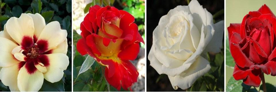 róże wielkokwiatowe, rabatowe, pnące, okrywowe, pienne...