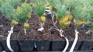 Grupa Kapias - szczepienie roślin iglastych
