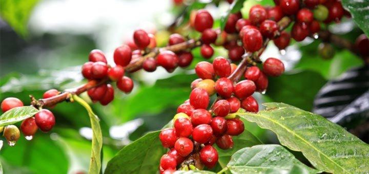kahve-cekirdegi-meyvesi.jpg