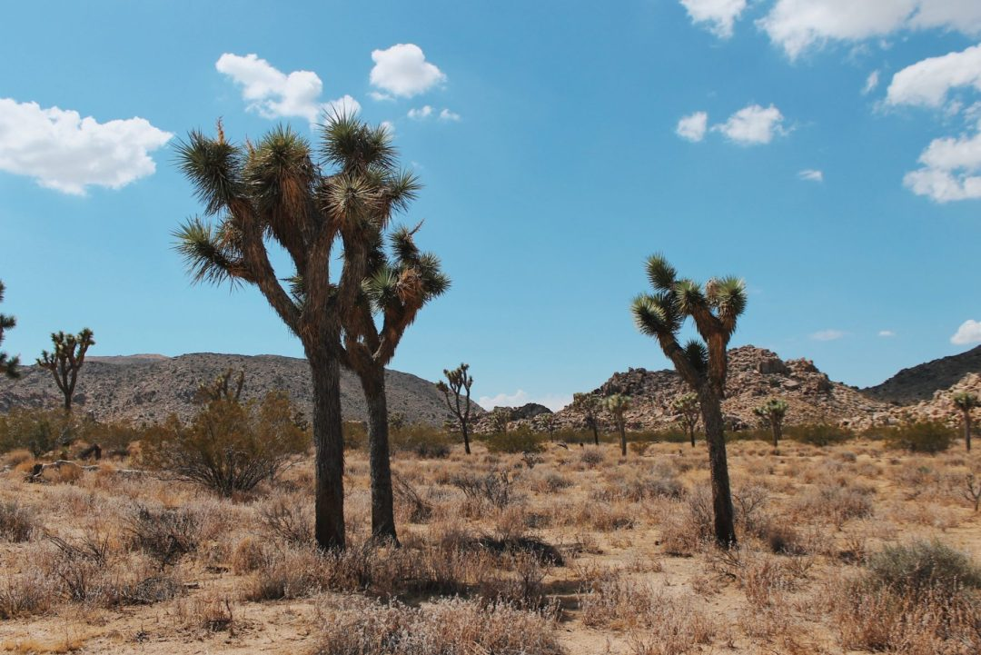 Lonesome Joshua Trees stand in the desert.