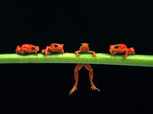 Flickr / Smugmug: The frog that ate the bull - Kaptur