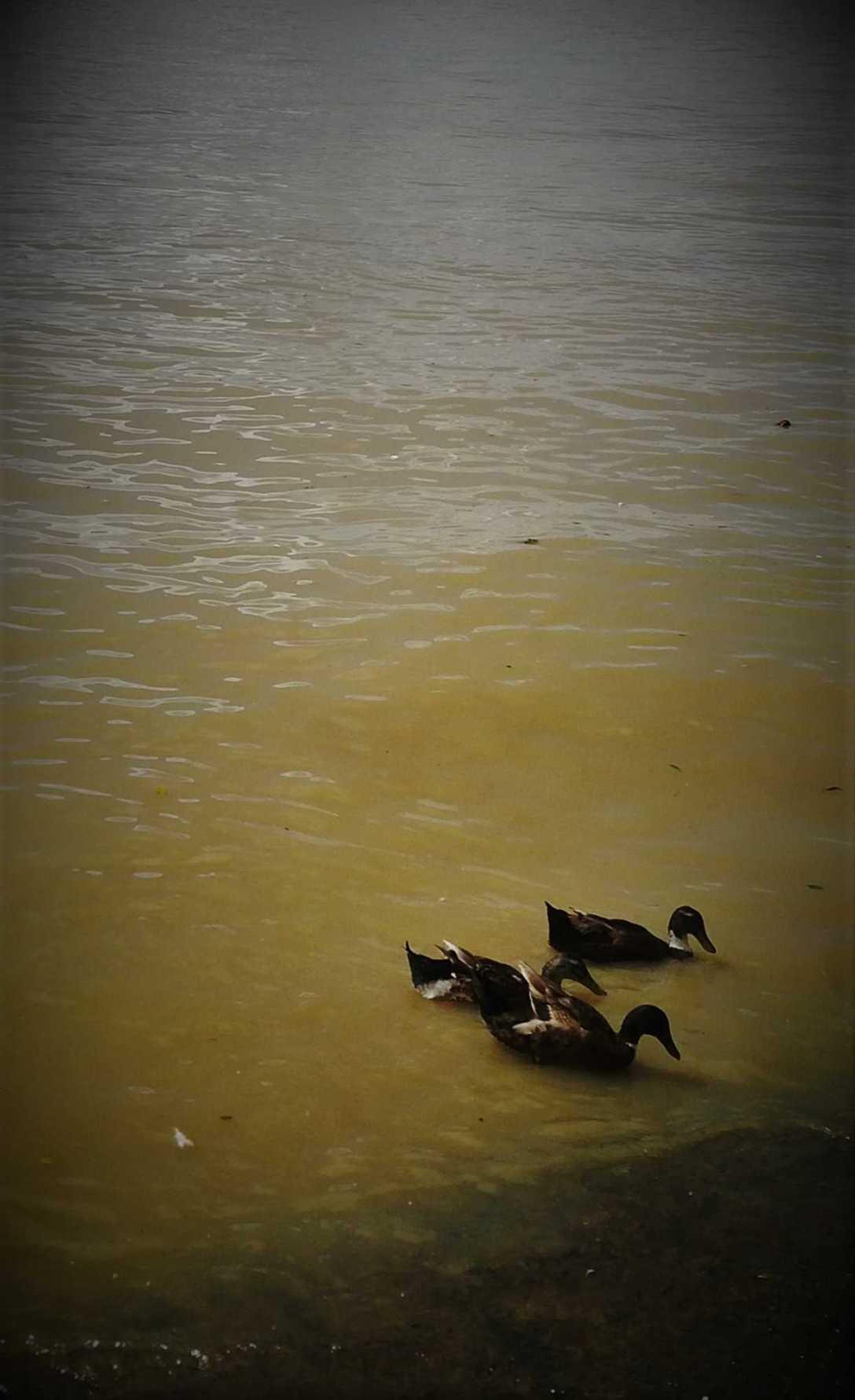 Ducks-1