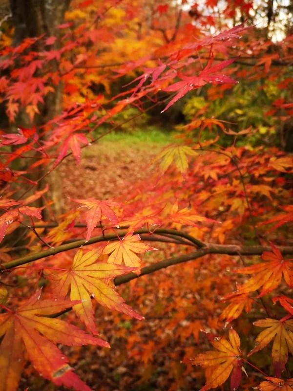 泉自然公園赤い楓