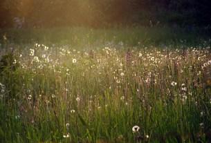 Ziedu pļava