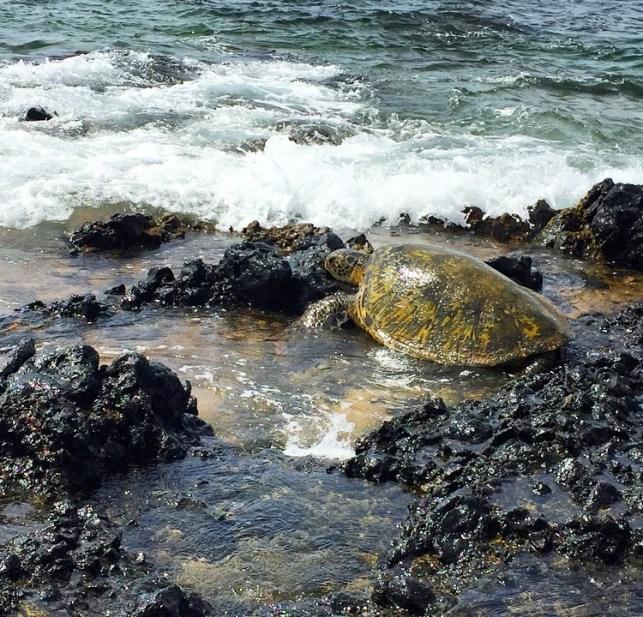 Maui honu are magical!