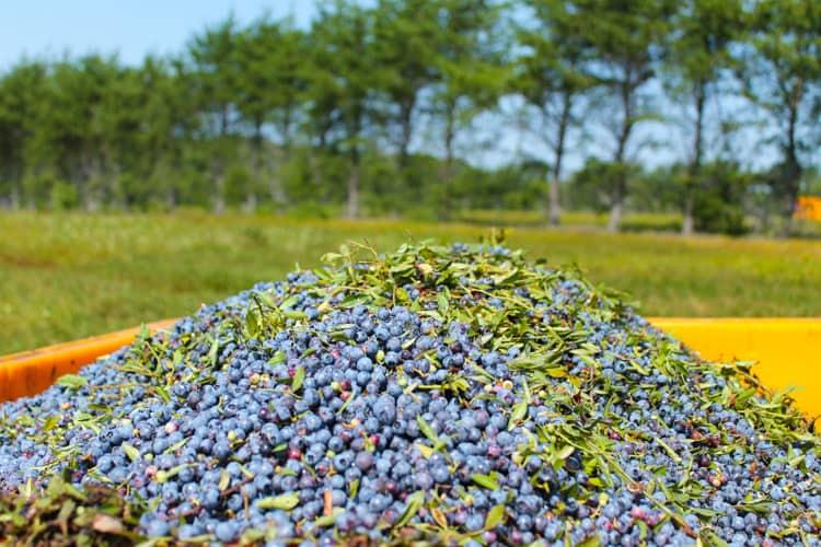 Blueberry Basil Cheesecake Smoothie -4