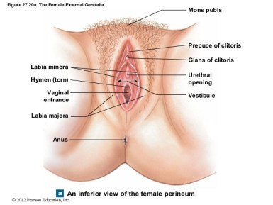 everything you need to know about the hymen - vulva diagram