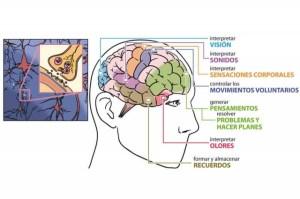 cerebro-completo_thumb_e