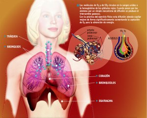 sistemarespiratoriocuer