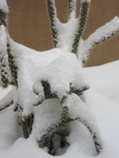 Snow on a cactus? Amazing.