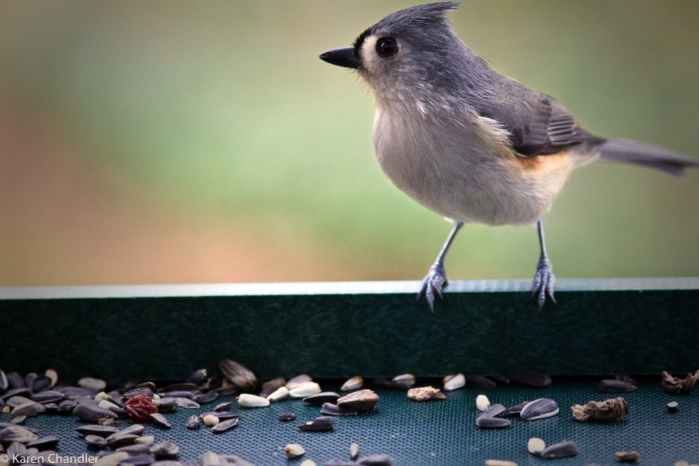Tufted Titmouse and Carolina Chickadee (1/3)