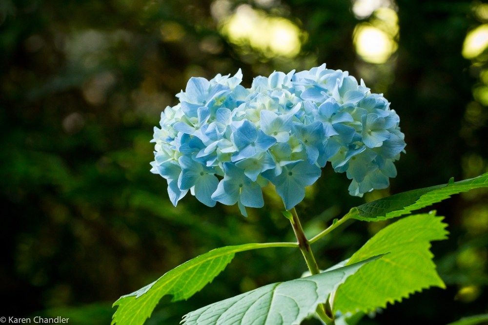 The Coolest Garden Colors: Hydrangea (5/6)