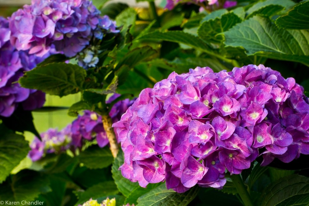 The Coolest Garden Colors: Hydrangea (4/6)