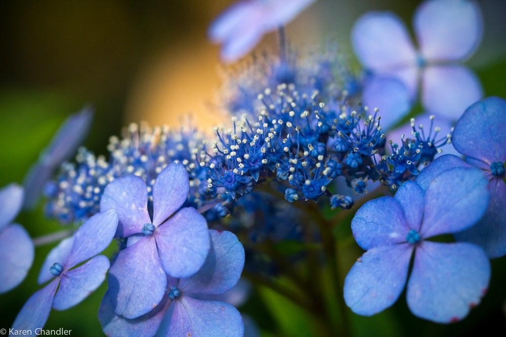 The Coolest Garden Colors: Hydrangea (3/6)